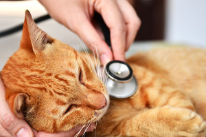 Cat Stethoscope